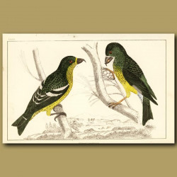 White-Winged Crossbill And American Crossbill