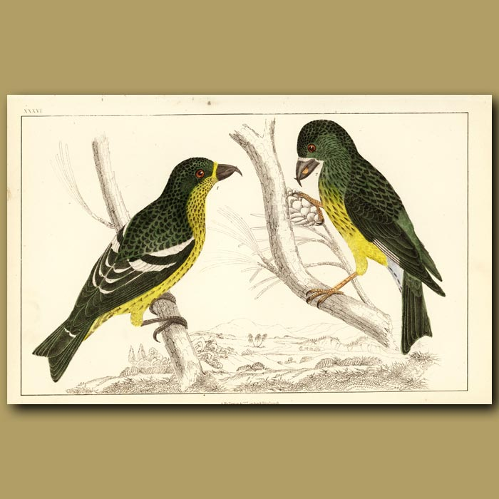 Antique print. White-Winged Crossbill And American Crossbill