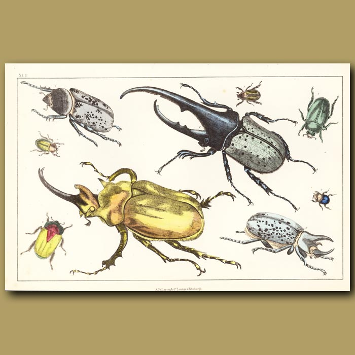 Antique print. Hercules Beetle And Other Beetles