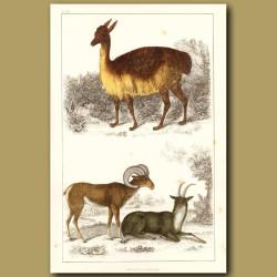 Vicugna (Vicuna) Of Peru And Argali Or Big Horn