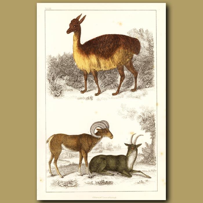Antique print. Vicugna (Vicuna) Of Peru And Argali Or Big Horn