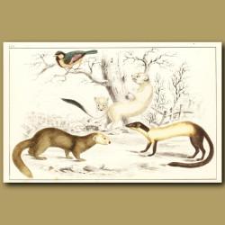 Ermine (Winter), Hardwick's Weasel And Java Ferret