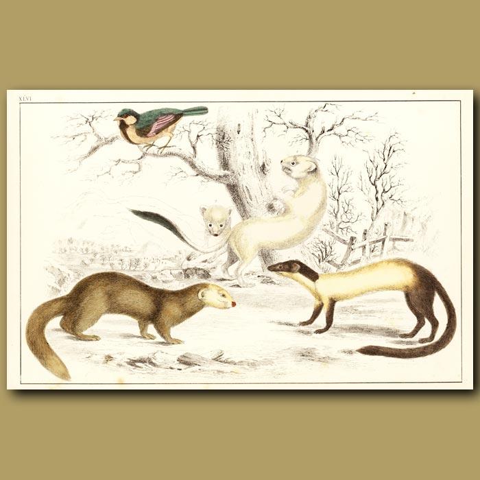 Antique print. Ermine (Winter), Hardwick's Weasel And Java Ferret
