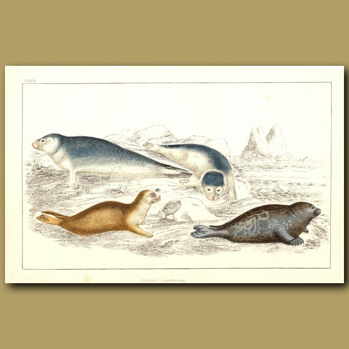 Antique print. Common Seal And Fetid Seal
