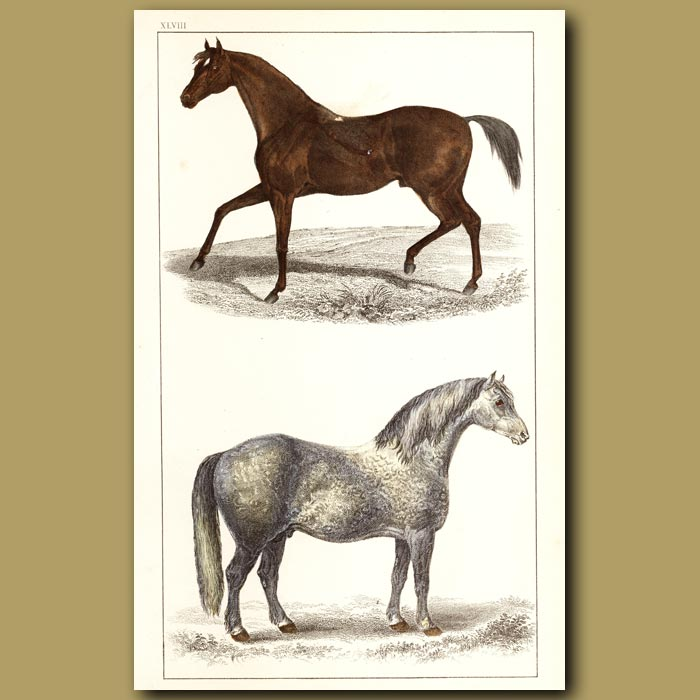 Antique print. Race Horse And Cart Horse