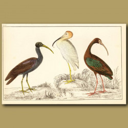 Papillated, White And Metallic Ibis