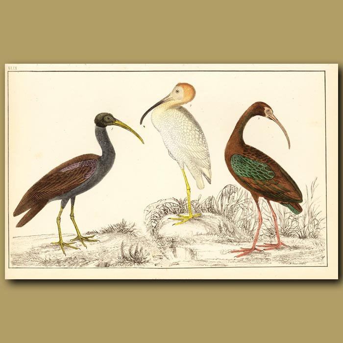 Antique print. Papillated, White And Metallic Ibis