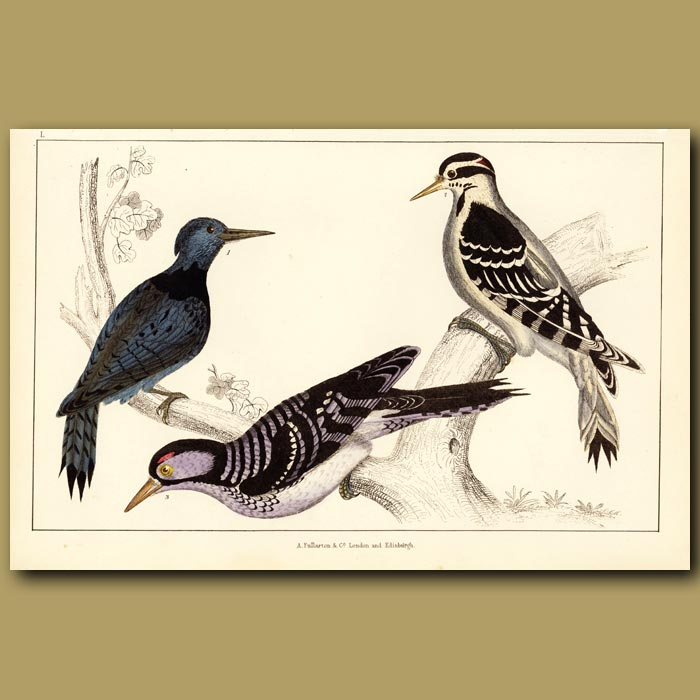 Antique print. Black-Breasted, Hairy And Red-Cockaded Woodpeckers