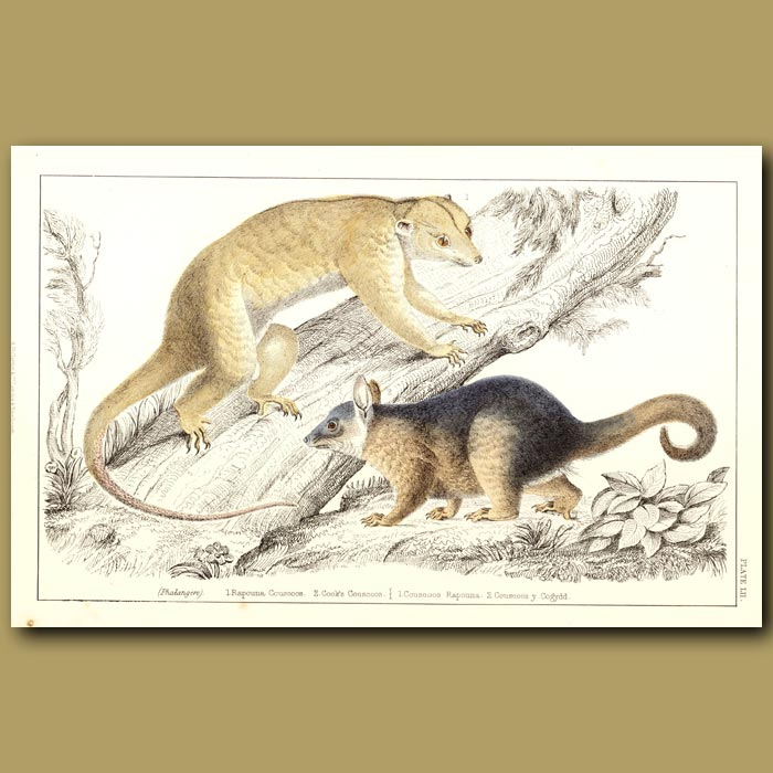 Antique print. Rapouna Couscoos And Cook's Couscoos