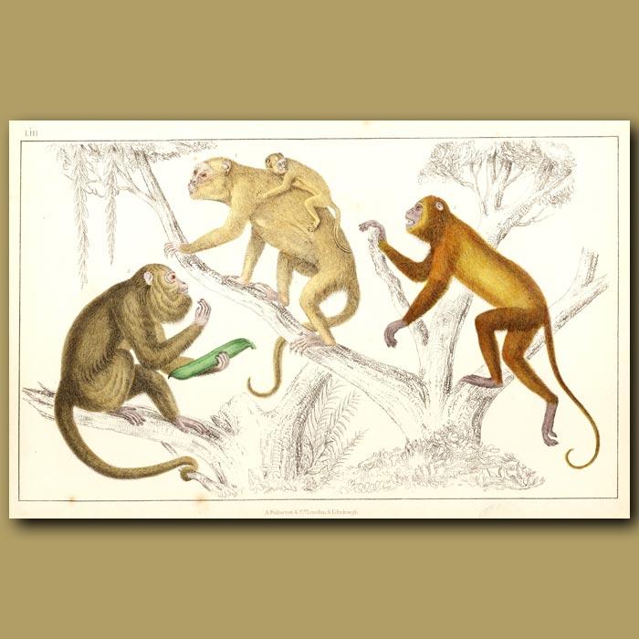 Antique print. Black Howler And Ursine Howler Monkeys