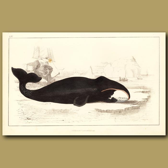 Antique print. True Whale
