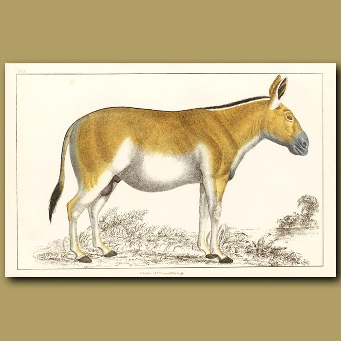 Antique print. Dziggtai - Wild Horse Of Tibet