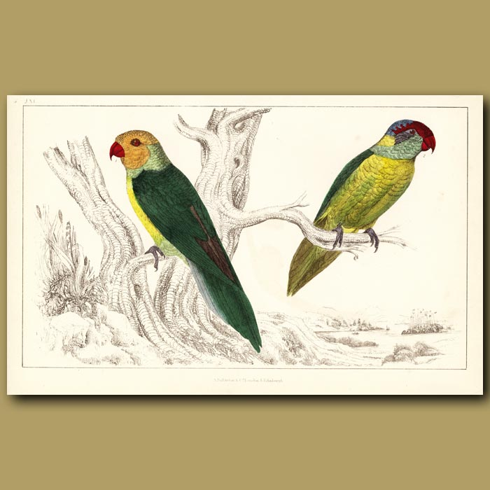 Antique print. Slender And Harper Parrakeets