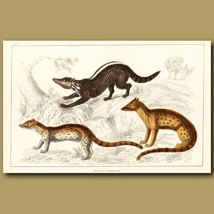 Antique print. Zibet, Fossane And Malacca Genet