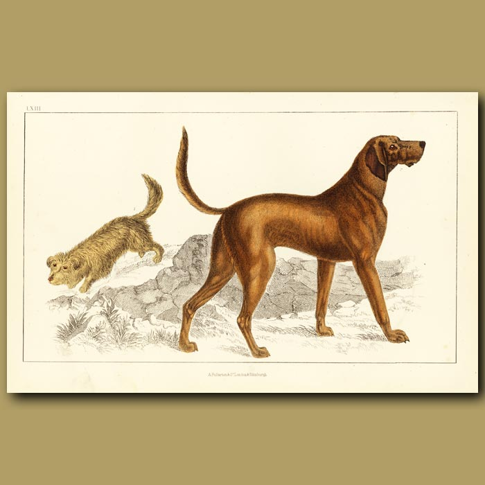Antique print. Skye Terrier And Blood Hound