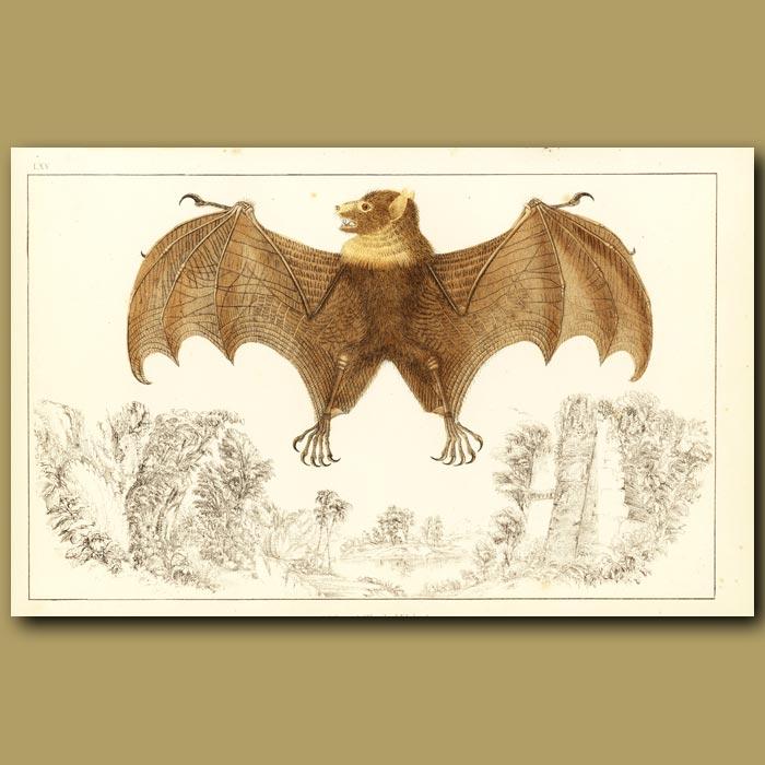 Antique print. Fruit Bat (Tonga Rousette)