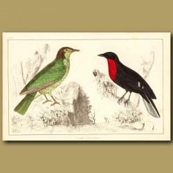 Araponga Summer Bird And Red-Breasted Fruit Crow
