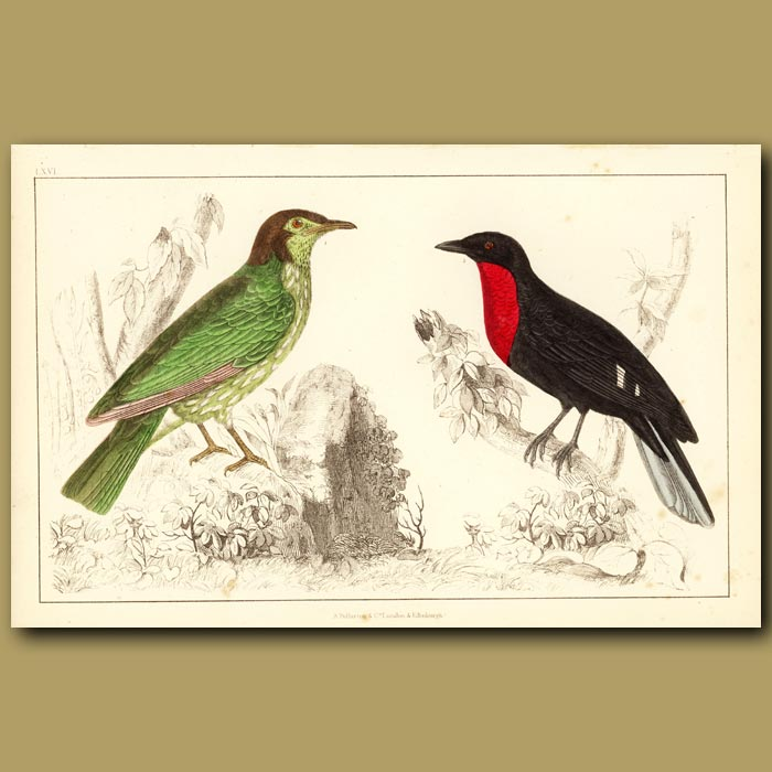 Antique print. Araponga Summer Bird And Red-Breasted Fruit Crow