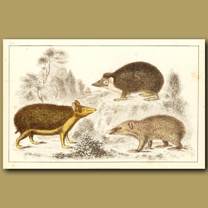 Antique print. Swarthy Tendrac, Long-Eared Hedgehog And Armed Tenrec