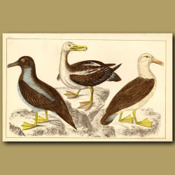 Common Albatross, Sooty Albatross And Black-Eyed Albatross