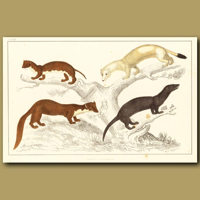 Antique print. Weasel, Ermine (Winter), Pine Martin And Vison