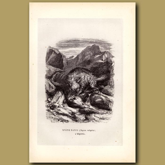 Antique print. Hyaena