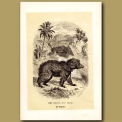 Common Indian Sloth Bear