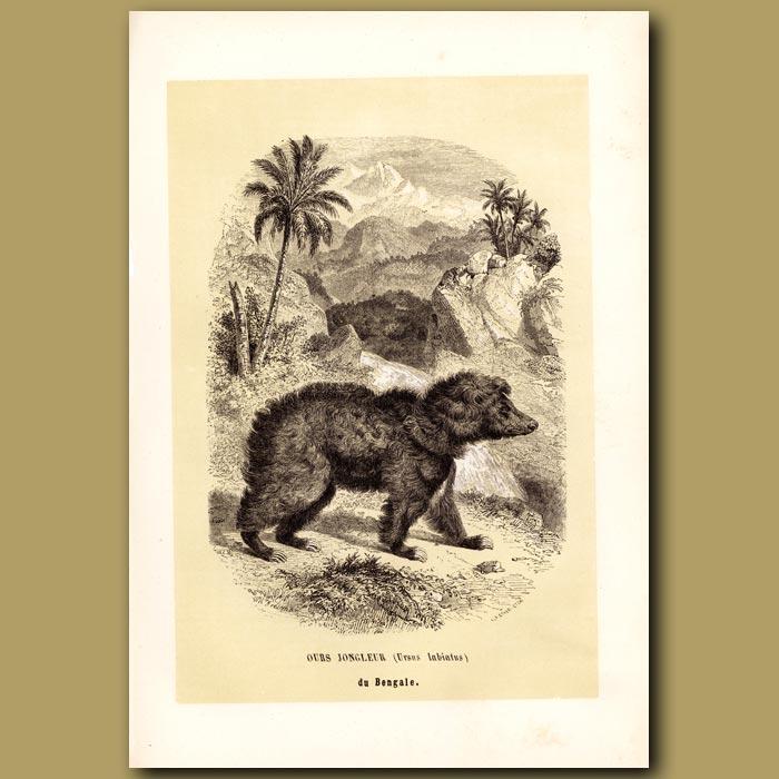 Antique print. Common Indian Sloth Bear