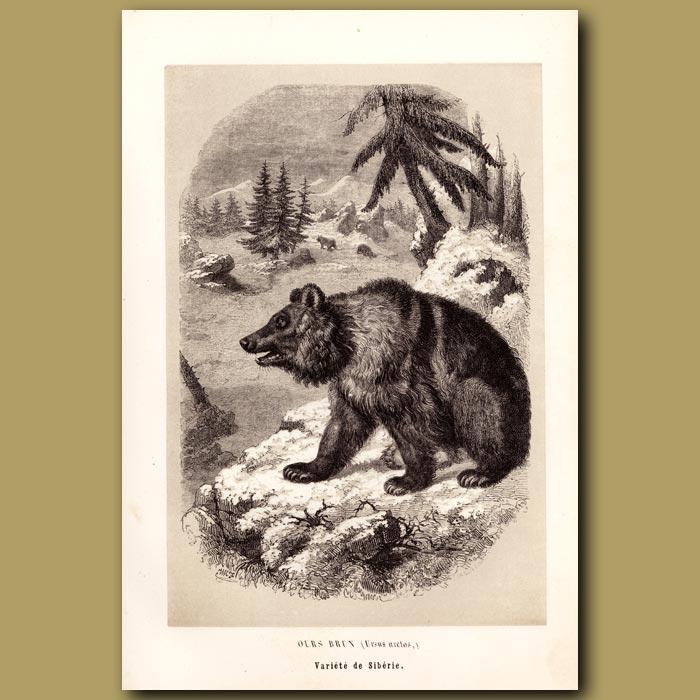 Antique print. Siberian Brown Bear