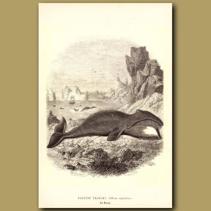 Antique print. Bowhead, Right Or Arctic Whale