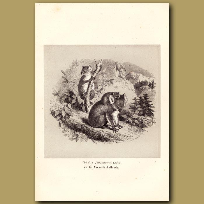Antique print. Koala Bear