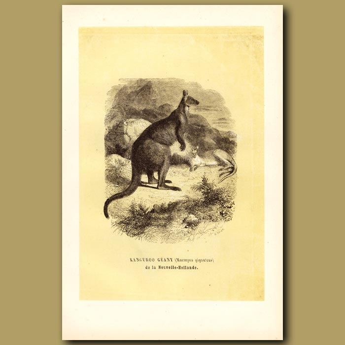 Antique print. Giant Kangaroo