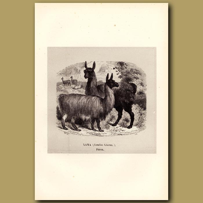 Antique print. Llama