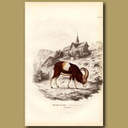 Mountain Sheep Of Arabian Sinai