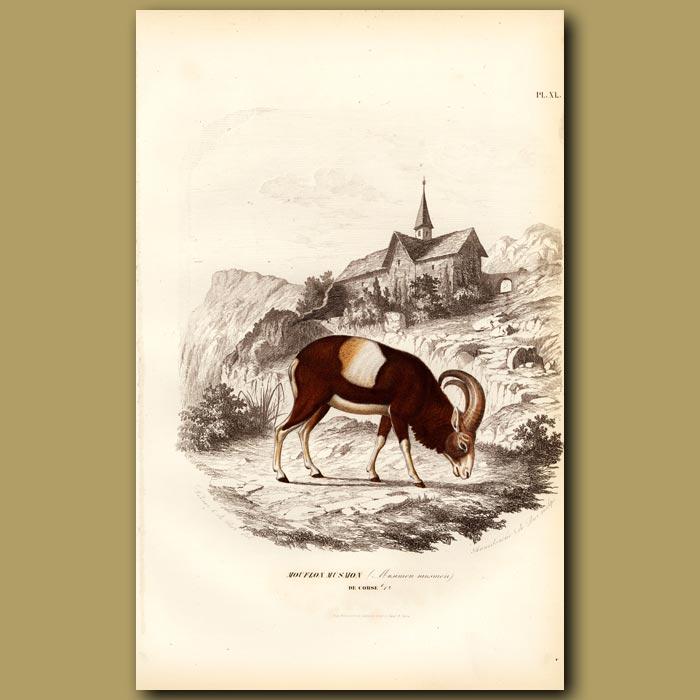 Antique print. Mountain Sheep Of Arabian Sinai