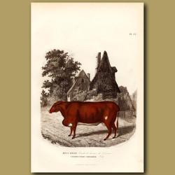 Devonshire Cow