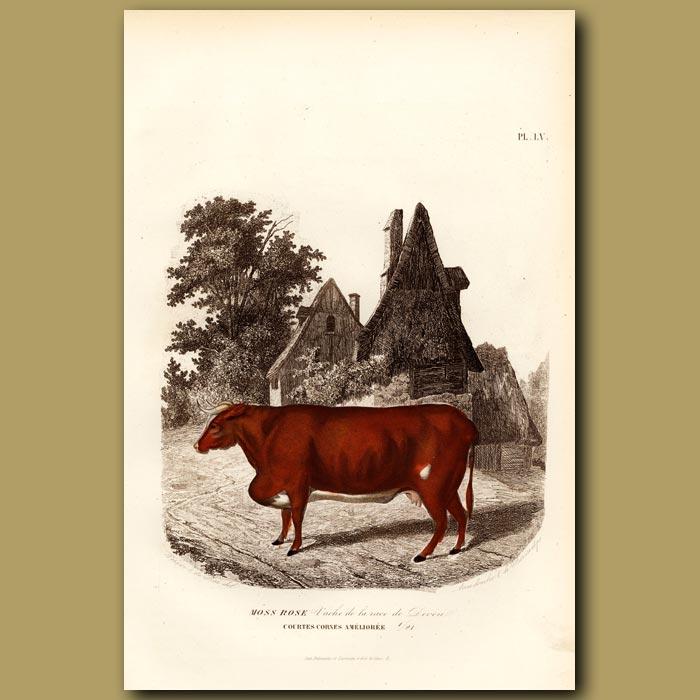 Antique print. Devonshire Cow