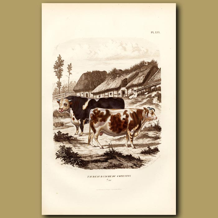 Antique print. Cow And Bull