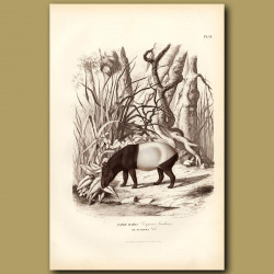 Tapir Maira