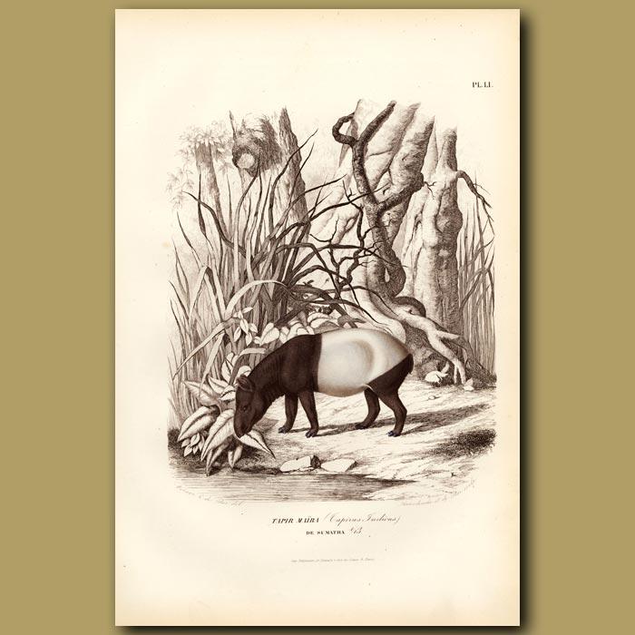 Antique print. Tapir Maira