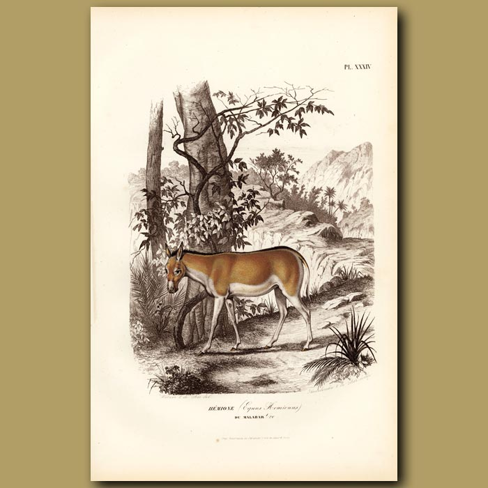 Antique print. Onager Or Indian Wild Ass