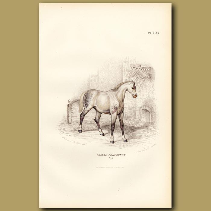 Antique print. Percheron Horse