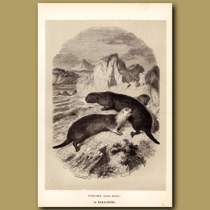 Antique print. Sea Otter
