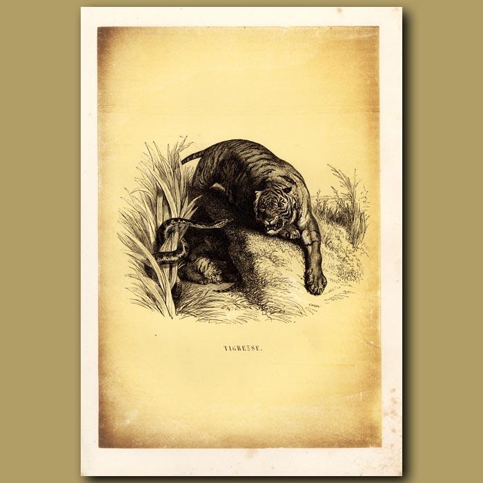Antique print. Tigress