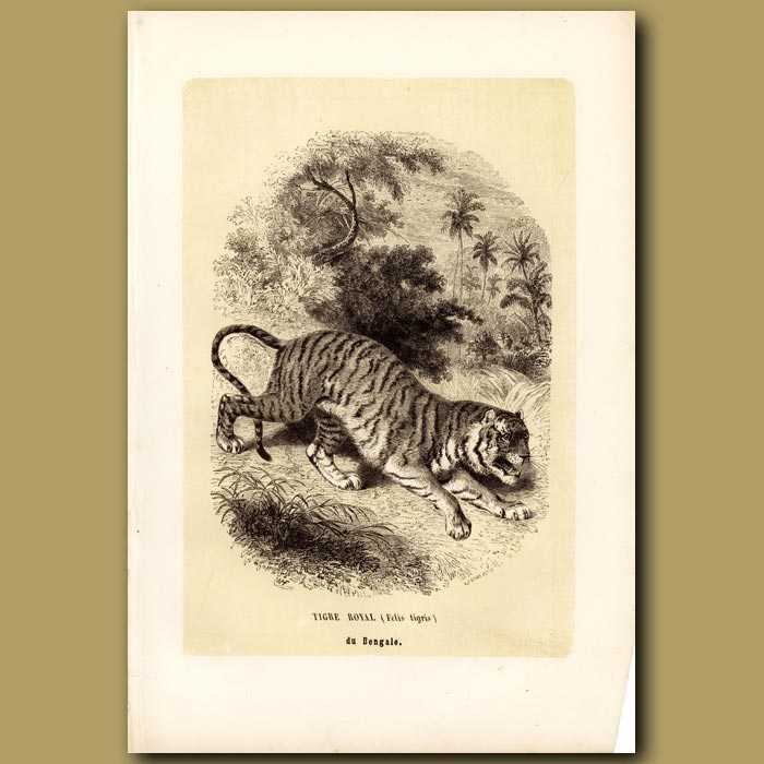 Antique print. Royal Tiger