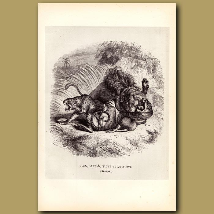 Antique print. Lion, Jaguar, Tigre Et Antilope. Lion, Jaguar, Tiger And Antelope