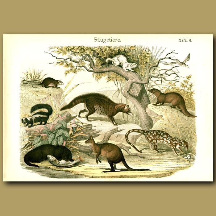 Antique print. Otters, Civets, Dasyure, Kangaroo Etc