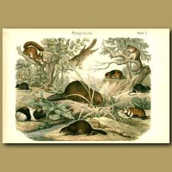 Squirrels, Guinea Pigs, Beavers, Lemming Etc