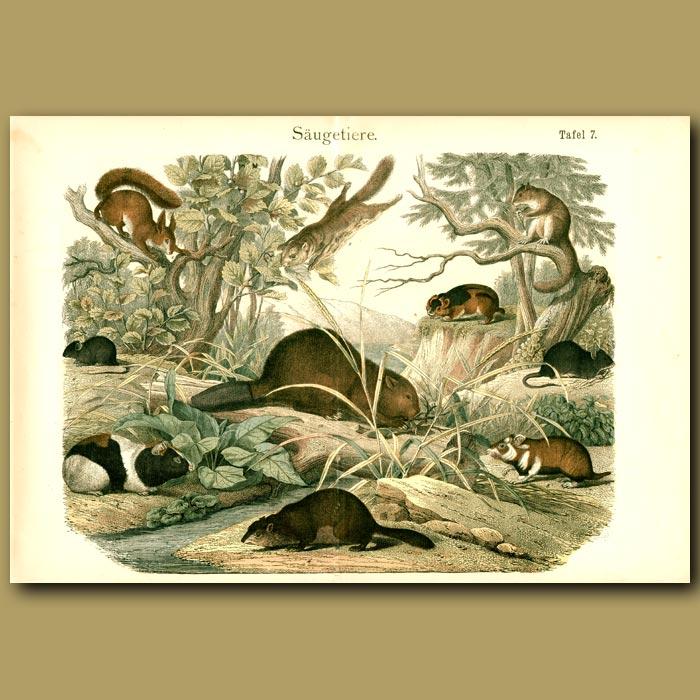 Antique print. Squirrels, Guinea Pigs, Beavers, Lemming Etc