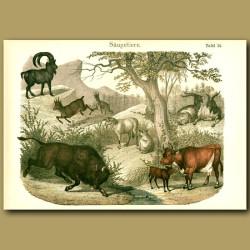 Wild Bull, Ibex, Cows, Sheep, Goat